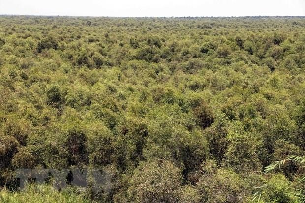 Large forested areas of Ca Mau face high risks of wildfire hinh anh 1