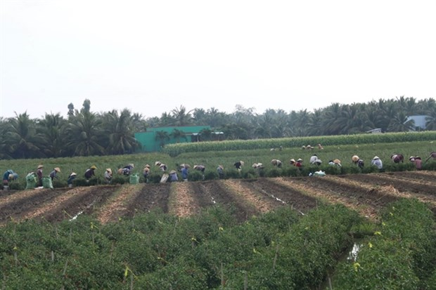 Southern region plans to grow other crops on low-yield rice fields hinh anh 1