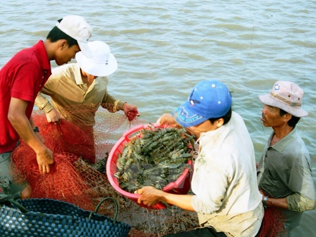Kien Giang applies advanced technologies in large-scale shrimp farming hinh anh 1