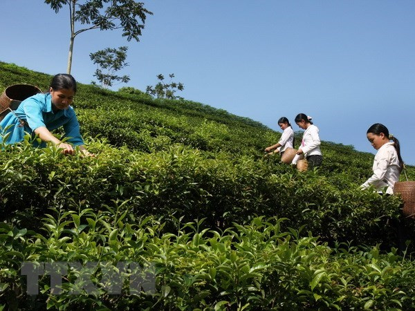 Vietnam's tea exports edge up 15.4 percent in Q1 hinh anh 1