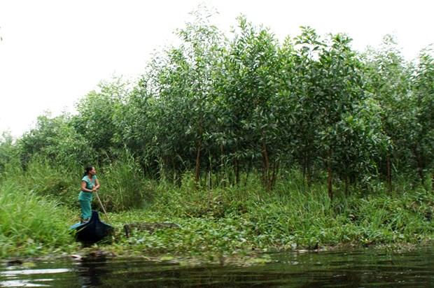 Ca Mau to plant more acacia trees as profits rise hinh anh 1