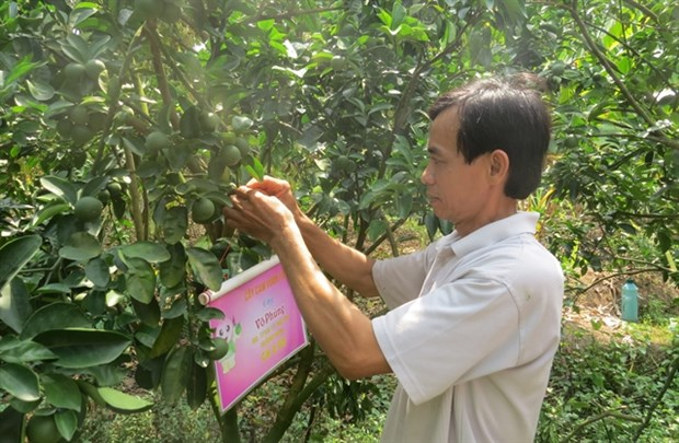 Dong Thap's farmers encouraged to apply GAP standards for fruit growing hinh anh 1