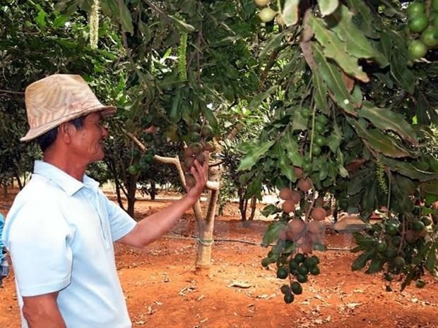 Lam Dong exports macadamia nuts to RoK, Singapore hinh anh 1
