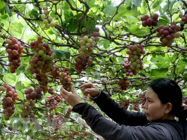 Ninh Thuan vineyard experience pulls in visitors hinh anh 1