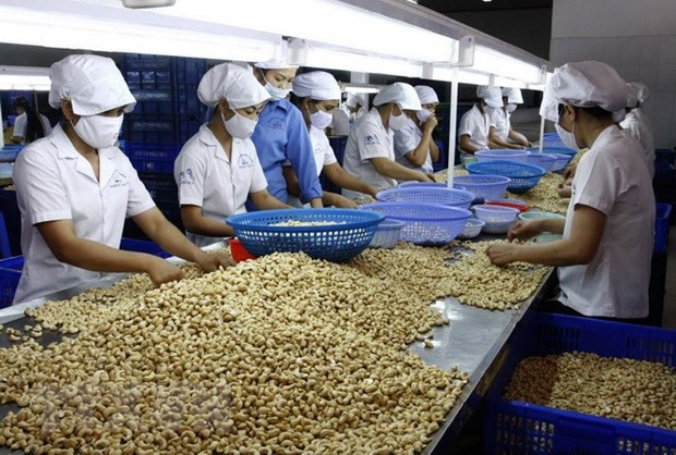 Cashew processors face difficulties with raw material imports hinh anh 1
