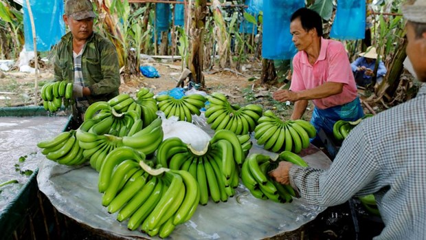 Banana to become Laos' major agricultural export hinh anh 1