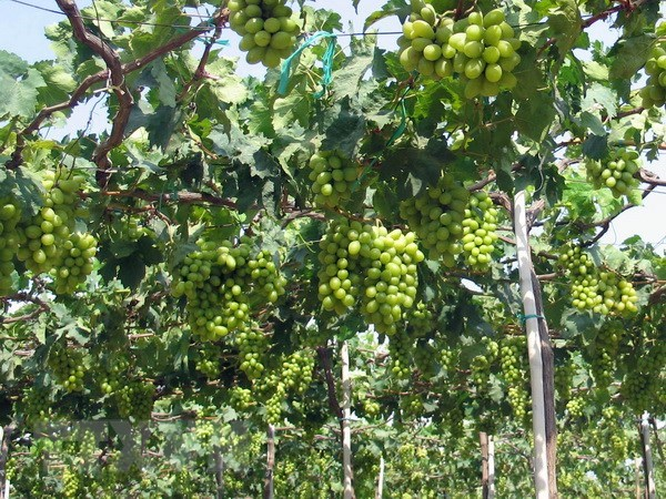 Ninh Thuan to link grape growing to sustainable practices hinh anh 1