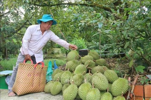 Tien Giang's fruits benefit from promotion efforts hinh anh 1