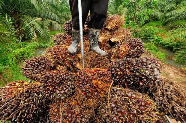 Thailand works to distribute palm oil overstock hinh anh 1