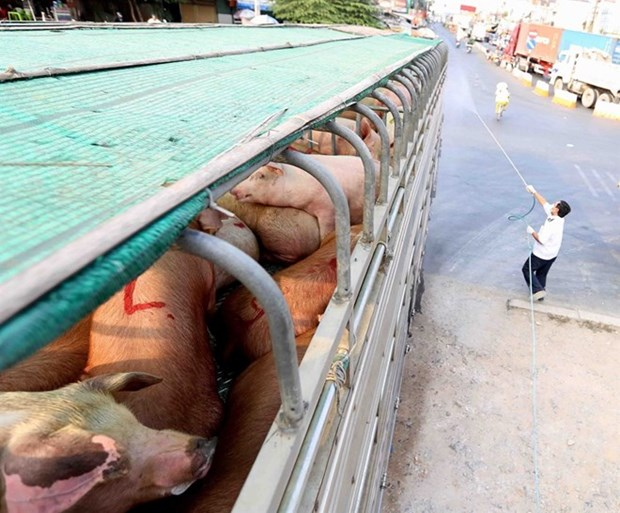 Southern localities on alert for African swine fever hinh anh 1