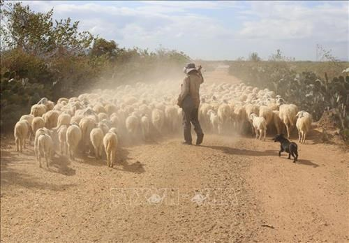 Ninh Thuan livestock farmers struggle to feed animals due to drought hinh anh 1