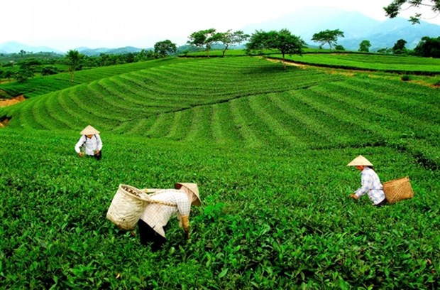 Tea industry needs to focus on quality hinh anh 1