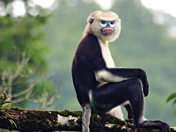 Ha Giang makes progress in Tonkin snub-nosed monkey conservation hinh anh 1