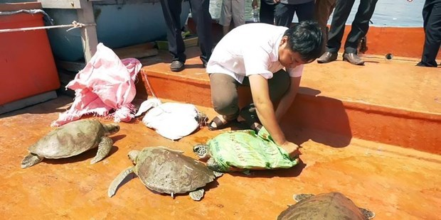 Quang Nam to release seven rare turtles back to nature hinh anh 1