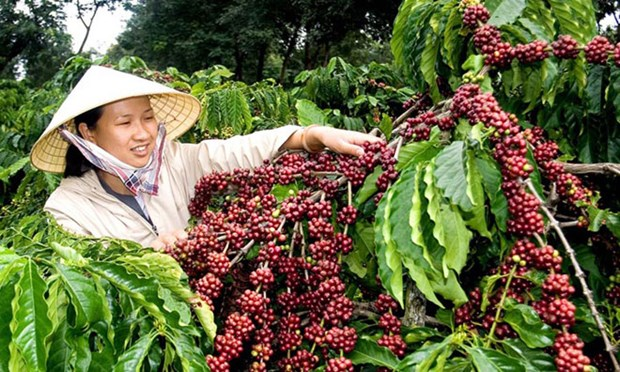 Internal, external factors challenge Vietnam's coffee exports hinh anh 1