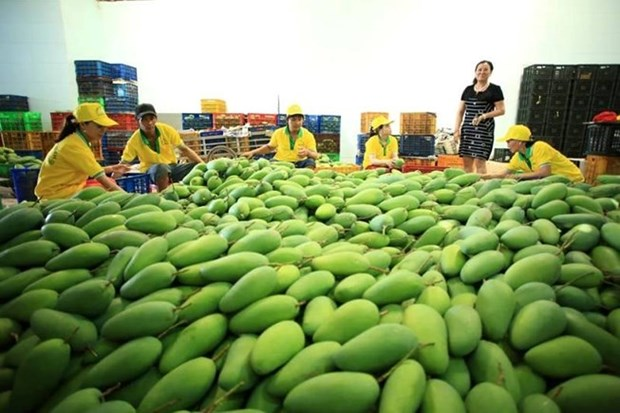 Firm exports 71 tonnes of mango to US hinh anh 1