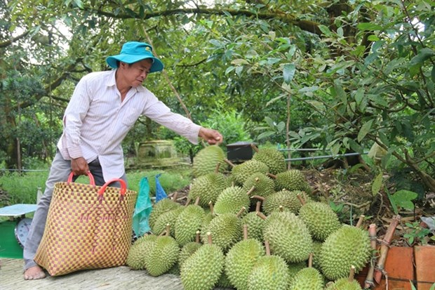 Mekong Delta fruit farmers enjoy bumper harvest, high prices hinh anh 1