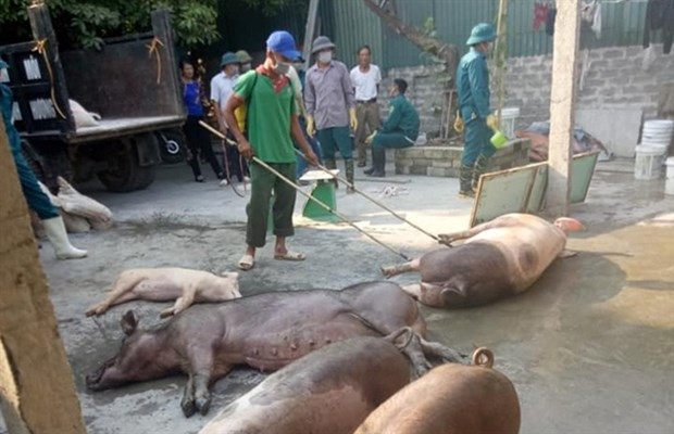 Ministry tackles African swine fever subsidy fraud hinh anh 1