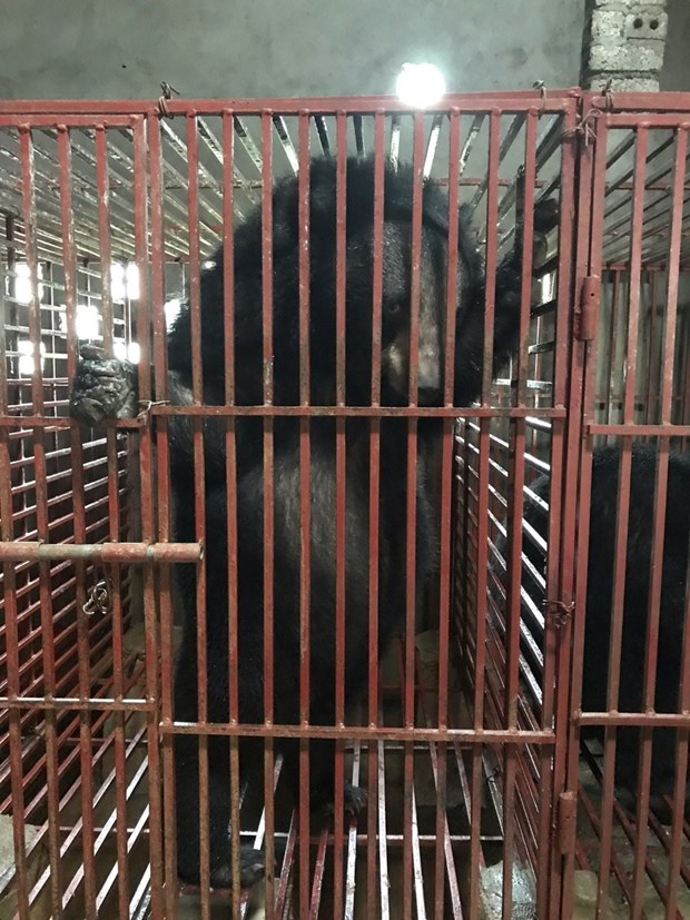 Nghe An: Three bears sent to Ninh Binh bear protection centre hinh anh 1