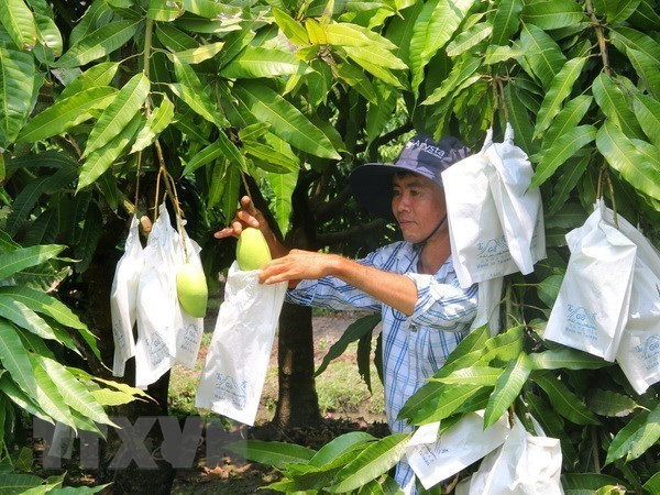 Moc Chau strives to export up to 500 tonnes of mango to China hinh anh 1