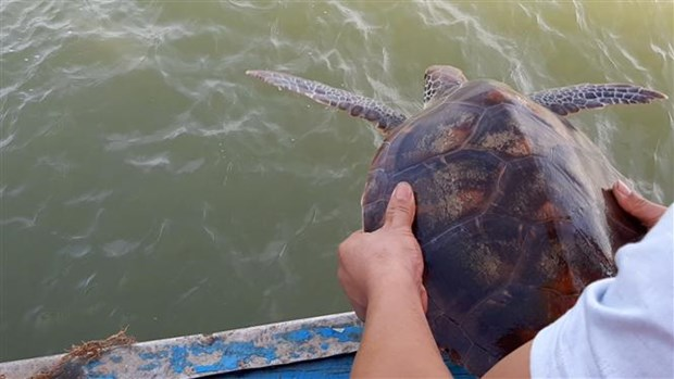 Nghe An: Rare green sea turtle returned to nature hinh anh 1
