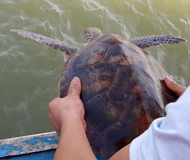 Fisherman releases rare turtle into ocean hinh anh 1