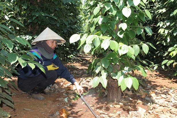 Dak Lak expands using efficient irrigation systems for crops hinh anh 1