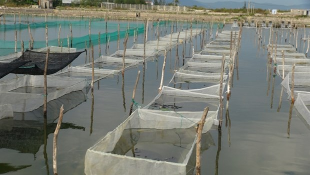 New sandfish farming model to be replicated hinh anh 1