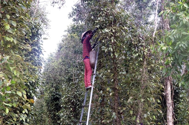 Cajuput tree trellises used to grow pepper hinh anh 1