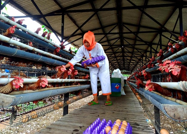 Indonesian poultry farmers anxious over price drop hinh anh 1