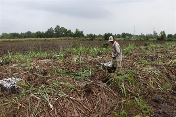 Mekong Delta sugarcane farmers switch en masse to other crops hinh anh 1