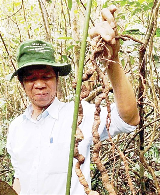 Precious ginseng found in Quang Nam hinh anh 1