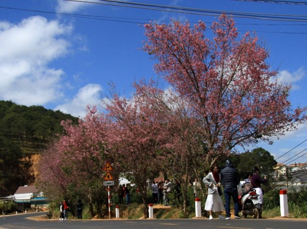 Cherry-like apricot trees planted in Lang Biang plateau hinh anh 1