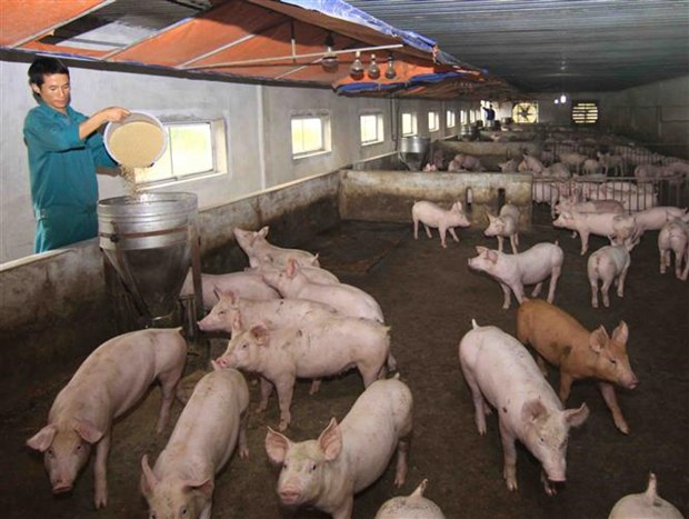 African swine fever spreads over 62 localities hinh anh 1