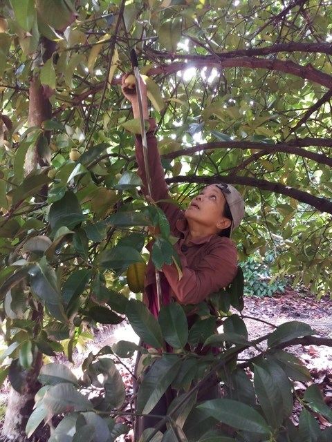 Farmers in Binh Duong see bumper mangosteen harvest hinh anh 1