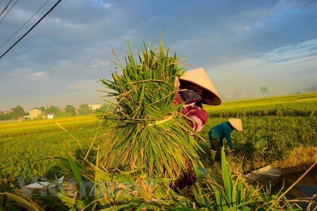 RoK helps Vietnam improve rice value chain hinh anh 1