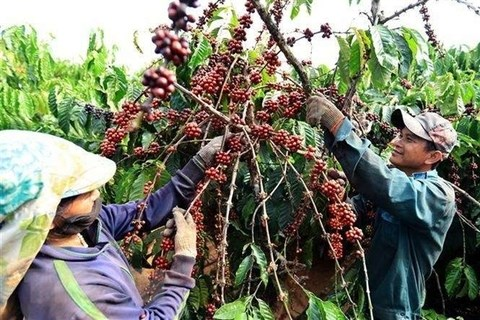 Vietnam's coffee exports plummet as robusta prices fall hinh anh 1