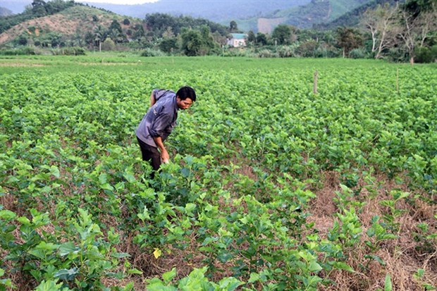 Lam Dong province unveils 5-year plan to develop sericulture hinh anh 1
