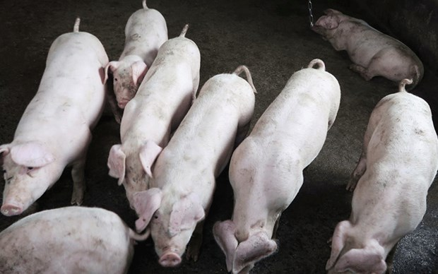African swine fever spreads in Laos hinh anh 1