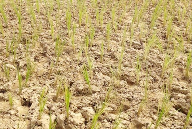 Low rainfall affects crops in Laos hinh anh 1