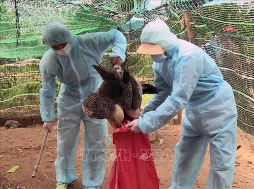 Avian flu breakouts recorded in 11 localities hinh anh 1