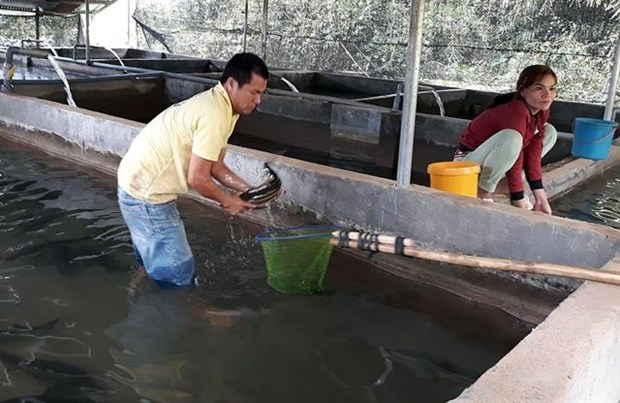 Farmers earn higher incomes from coldwater fish hinh anh 1