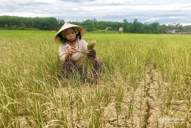 Drought destroys crops in central Nghe An province hinh anh 1
