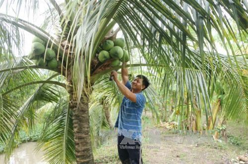 Ben Tre festival promotes coconut industry hinh anh 1