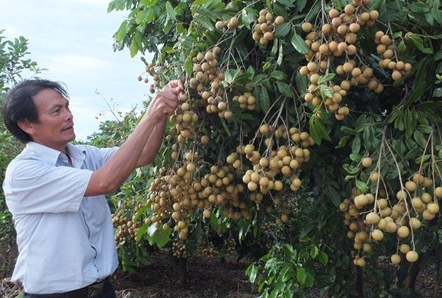 Son La launches export of locally-grown longan hinh anh 1