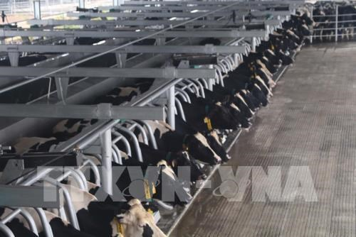 Dairy group to expand cow herd to 400,000 heads hinh anh 1