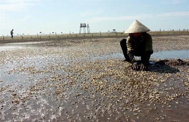 Oysters die en masse in Thai Binh hinh anh 1