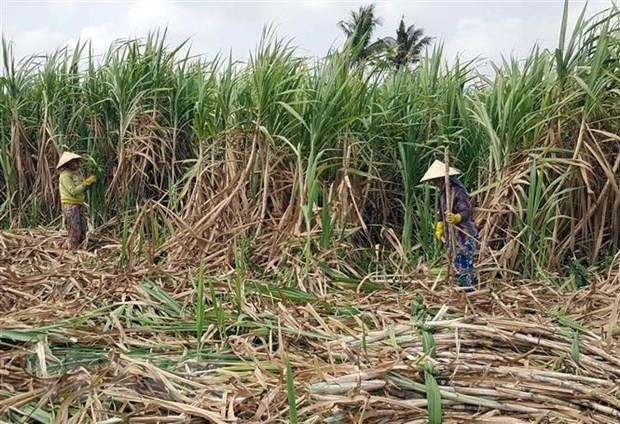 High-tech farming significant to improve sugarcane quality, productivity hinh anh 1