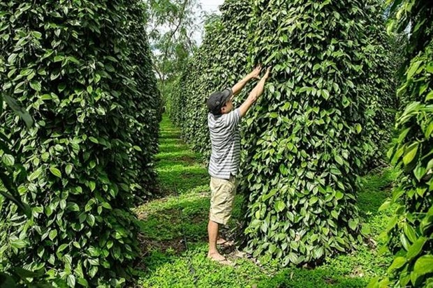 Pepper sector urged to renew growth model hinh anh 1