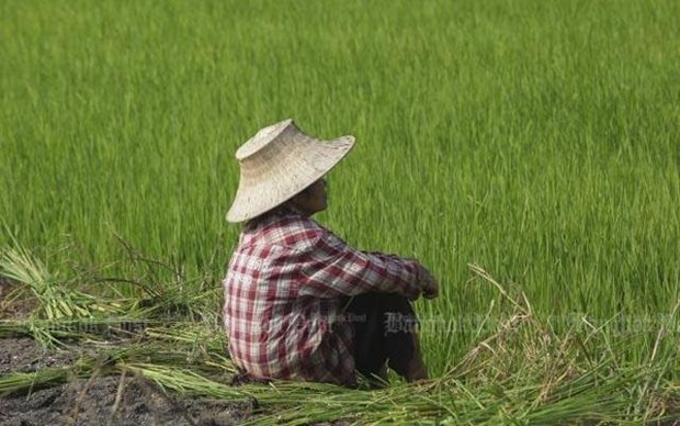 Thailand to spend over 1 bln USD on rice, oil palm price guarantees hinh anh 1